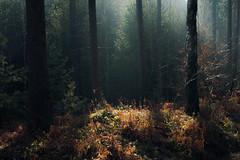 Hazy enchantment (Netsrak) Tags: mist fog nebel forest woods wald licht light birch birke baum bäume tree trees haze dunst nature natur winter february 2017