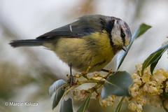 MKP_20170407-71.jpg (Marcin Kaluza) Tags: birds animals bluetit tamron150600g2