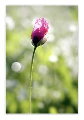 Rosella arrugada, arriba la primavera i les flors despleguen els seus vestits. (Vicensalamas) Tags: roselles poppys amapolas papavero coquelicots color primavera campo canon flores