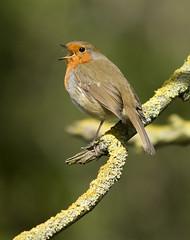 Robin (Erithacus rubecula) Musselburgh (Eastern Davy) Tags: robin erithacusrubecula bird wildlife wild outdoor musselburgh riveresk eastlothian scotland canon 70d 300mm