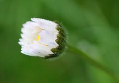 aprirsi al mondo... (andrea.zanaboni) Tags: luce light alba bianco white nikon macro gocce drops fiore flower margherita sunrise