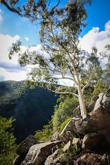 Eucalyptus scoparia (orpheusomega) Tags: rare threatened endangered eucalyptus australia nsw