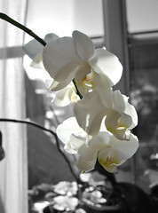 Morning light orchid (Mwap38) Tags: flower orhid window windowsill sun morning glass inside indoors nikon