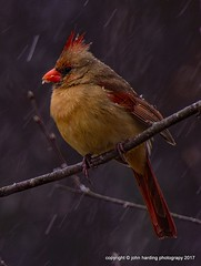 Spring? (T i s d a l e) Tags: tisdale springbird cardinal northerncardinal weather snow flurry winter march 2017 easternnc