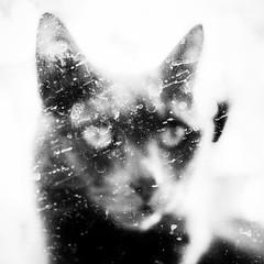 The Mother #5 (Vanvan_fr) Tags: monochrome nb bw noiretblanc blackandwhite chat cat animal animalplanet animaldecompagnie portrait dirty carré square squareformat dof profondeurdechamp dirtyportrait behindthewindow fenêtre window expression look regard eyes france photo gr