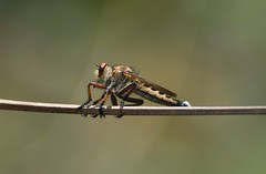 Robber fly (sreejithkallethu) Tags: robberfly assassinfly nature naturephotography neeravil kollam kerala