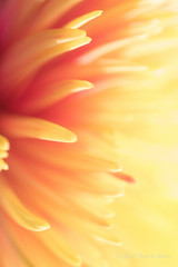 I Do Need Some (Sous l'Oeil de Sylvie) Tags: fleur flower vegetal jaune orange yellow macro macrophotographie prodonfeurdechamps dof pdc pétales sousloeildesylvie mars 2017 couleurs colors vivante joie