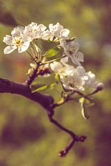 Spring (thubakabra) Tags: spring branch flower soft green purple blooming beginning petals cherry