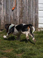 IMG_8250 (BFDfoster_dad) Tags: basset hound puppy