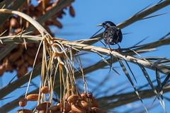 European Starling  -  Star (CJH Natural Photography) Tags: star starling palm palmtree tree la california losangeles usa us na bird vogel