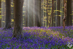 La Forêt Enchantée - Bois de hal (laurentcaputo) Tags: belgique belgium bleu blue bois caputo enchante fleur flower forest foret hal hallerbos jacinth jacynthe landscape laurentcaputo magic magique mauve nature photography printemps purple spring sunrise sunset witch wood