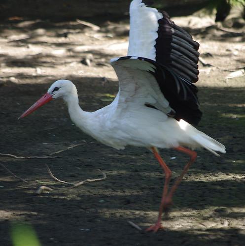 D10046.  White Stork.