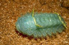 Unknown Critter (lyn.f) Tags: chobenationalpark botswana caterpillar insect