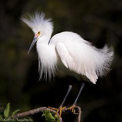 Snowy Egret, breeding plumage (Kathrin Swoboda) Tags: snowy egret bird feathers breeding plumage