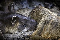 Tapir and Capybara Sleeping Together (PACsWorld) Tags: sandiegozoo tapir capybara elephantodyssey