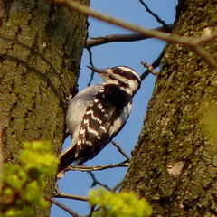 Hairy Woodpecker female (Dendroica cerulea) Tags: hairywoodpecker picoidesvillosus picoides dendropicini picinae picidae picides pici piciformes aves woodpecker birds spring valleyplaceravine ayresbeach redsmarina highlandpark middlesexcounty nj newjersey