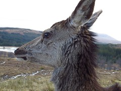 8646 Red deer hind at the gillies mouse in Loch Garry (Andy - Busyyyyyyyyy) Tags: 20170319 ddd deer ggg glengarry hhh hinds reddeer rrr scotland