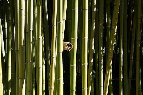Qu'ils sont beau ces bambous