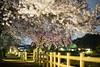 長岡天満宮 八条ヶ池の桜(京都の夜桜シリーズその3)