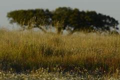 Santa Bárbara de Padrões, Poesia da terra_DSC8823 (x-lucena) Tags: santabárbaradepadrões azinheira quercusilex