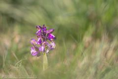Kleines Knabenkraut (Christian Birzer) Tags: makro grün orchidee wiese lila kleinesknabenkraut natur blume flower narrenkappe orchidaceae orchismorio green purple