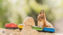 traveling by train (Geert Weggen) Tags: red nature animal squirrel rodent mammal cute look closeup stand funny bright sun backlight eyes hypnosis staring watching food dinner hold hide glimpse peek up balance moss dream charm plant center middle happy smile flower young puppy baby travel train journey transport holiday tourist abroad geert weggen hardeko sweden bispgården jämtland