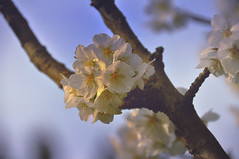 cherry blossoms (kristinkarmella) Tags: cherryblossom bokeh stanleypark