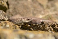 Male Slowworm (Anguis fragilis) (willjatkins) Tags: slowworm anguis anguisfragilis reptile lizard ukwildlife ukreptile ukreptilesandamphibians ukamphibiansandreptiles uklizards britishwildlife britishreptiles britishreptilesandamphibians britishamphibiansandreptiles gloucestershirewildlife gloucestershirereptiles macro macrowildlife closeup closeupwildlife animalportrait nikond7100 sigma105mm nikon d7100 wildlife