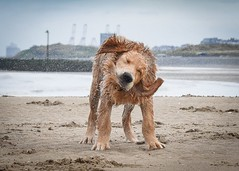 Beach babe (Sharron Burns) Tags: moreton wallasey leasowebay wirral shake water sand beach dog guidedogs guidedogpuppy goldenretriever puppy goldenretrieverpuppy