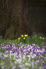 When spring arrives... (A blond-Tess) Tags: spring springflower springtime springfloor ayrshire ayr park crocus daffodils liljor canonphotography flora 7d colours springcolours outdoorphotography