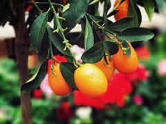 Fruit Tree Citrus Fruit Orange Color Close-up Beauty In Nature Hanging Kumquat Kumquat Tree Dublin (ronanmcloughlin) Tags: fruit tree citrusfruit orangecolor closeup beautyinnature hanging kumquat kumquattree dublin