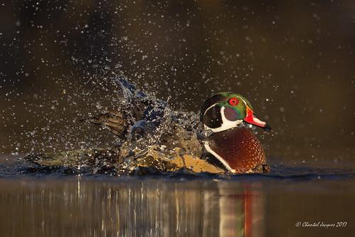 Glowing in the dark- Wood duck style (Chantal Jacques Photography) Tags: wood duck woodduck glowinginthedark splishsplah wildandfree bokeh