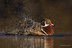 Glowing in the dark- Wood duck style (Chantal Jacques Photography) Tags: wood duck woodduck glowinginthedark splishsplah wildandfree bokeh