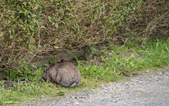 IMGP9972 (knuthelgeland) Tags: kanin rabbit