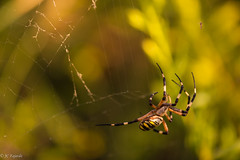 Hunting (http://www.jcfajardophotography.com/) Tags: andalucía andalusia araña arañatigre argiopebruennichi elturro españa granada insect insecto invertebrado invertebrate macro naturaleza nature spain spider es nikon nikond800 d800 nikkor nikkorlenses nikkorlens nikkor105mmf28gifedvr nikkor105mmf28edvrmicro nikkor105mmf28gedvr nikkor105mmf28vrmicro edlenses ed edlens nikonlenses nikonlens nikonnature naturephotographer naturepics natureimages macrolens primelens prime primelenses goldenring bokeh spyder composition composicion wildlife wild wildphotographer wildlifephotographer alhamadegranada espanya españa invertebrados invertebrates insectos insects ngc