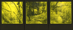 Parque nacional de Garajonay Triptych 2 (sycamoretrees) Tags: 600 analog branches canarias canaryislands film forest garajonay girl impossible instantfilm integral integralfilm lagomera laurelforest laurisilva marianrainerharbach moss nationalpark parquenacionaldegarajonay path polaroid rainforest slr680 spain subtropics thirdmanrecordsedition trail trees triptych woman yellow yellow600 yellow600201611