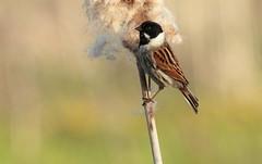 cute little fella (Cal Killikelly) Tags: male reed bunting small bird cattail bulrush spring april cute fella