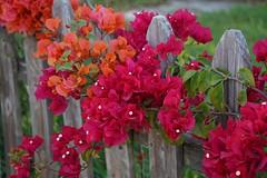 Happy Fence Friday (rkramer62) Tags: rkramer62 bougainvilla staugustineflorida hff happyfencefriday spring april