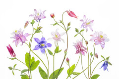 Columbine (Mandy Disher) Tags: select columbine aquilegia grannybonnets spring summer flower floral flora whitebackground