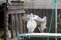 21 April 2017 (43) (AJ Yakstrangler) Tags: yakstrangler pigeon pigeons