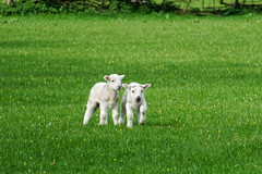 Race You! (scottprice16) Tags: england lancashire grindleton field lambs sheep spring april wildlife animals farm play canong3x ribblevalley