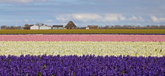Lines ((( n a t y ))) Tags: tzand noordholland netherlands spring april flowerfields flower bloom inbloom blooming blossom hyacinthus jacintos plant botanics field farm countryside bulb industry hiking trekking path trail outdoor sky weather clouds canon eos6d photography pink violet windmill cottage village