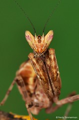 Creobroter gemmatus (Stoll, 1813) (Ferdy Timmerman) Tags: creobroter gemmatus praying mantis mantid mantodea bidsprinkhaan insect animal portrait macro nikon d90 nikkor 105 micro green eyes closeup brown tiny nimph nymph hunter predator ferdytimmerman