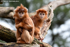 Javanese longing - Apenheul (Mandenno photography) Tags: dierenpark dierentuin dieren animal animals monkey monkeys apenheul apen apeldoorn nederland ngc netherlands nature