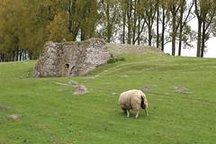 Sheep in Damme (Brian Aslak) Tags: damme westvlaanderen vlaanderen flanders flandres belgië belgique belgium europe green meadow sheep sau