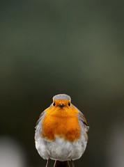 Robin (Frozen in Vision) Tags: european robin erithacus rubecula petirrojo europeo rotkehlchen 歐亞鴝 ヨーロッパコマドリ зарянка यूरोपीय रॉबिन أبو الحناء الأوروبي אדום החזה piscodepeitoruivo