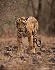 Tigeress Lightening (Raymond J Barlow) Tags: tigress india phototours wildlife raymondbarlow