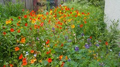 Wildflowers (danieljsf) Tags: flowers wildflowers nasturtium tropaeolum