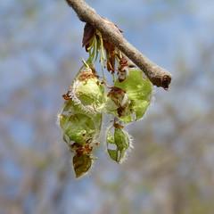 American Elm seeds (Dendroica cerulea) Tags: americanelm ulmusamericana ulmus ulmaceae urticales tree seeds fruit elm spring johnsonpark highlandpark middlesexcounty nj newjersey