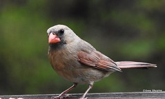 Northern Cardinal (Female) (Anne Ahearne) Tags: bird birds nature animal wildlife cardinal red